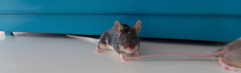 présentation de mes souris