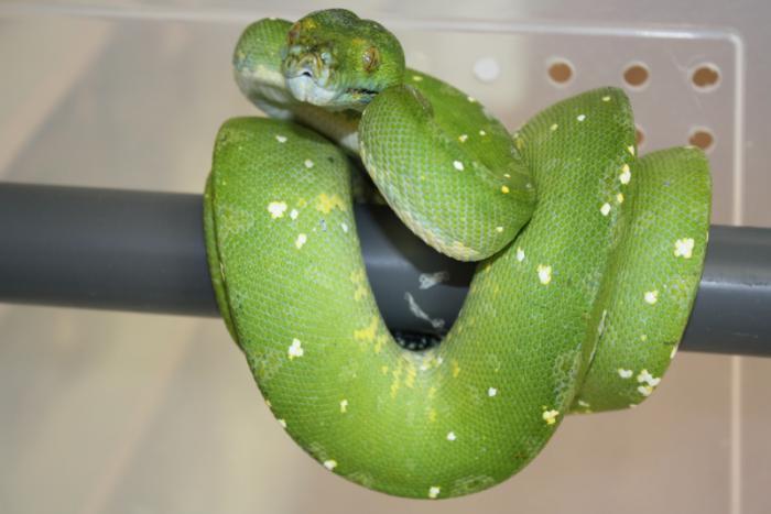 photo Morelia viridis